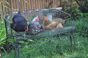 Lisa's hens