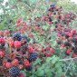 Greensboro berry picking