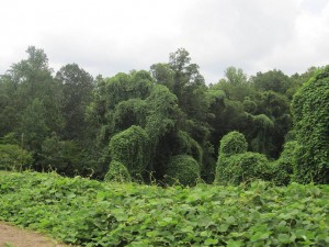 Kudzu North Carolina